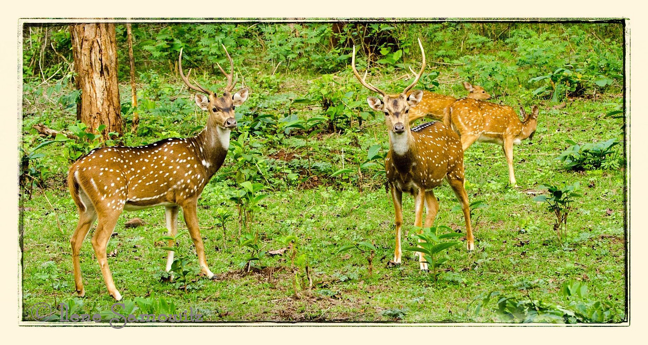 Spotted deer in Nagarhole, India