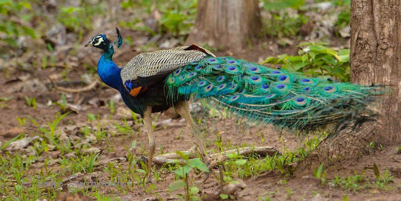 Wild Peacock in Nagarhole, India. They are wild and indigenous to the forests in Southern India.