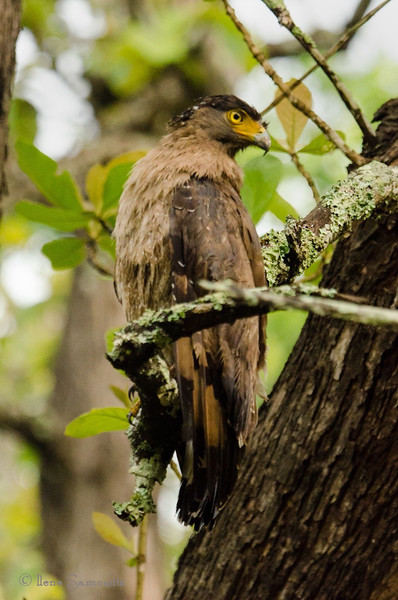 Crested Serpent Eagle in Nagarhole, India