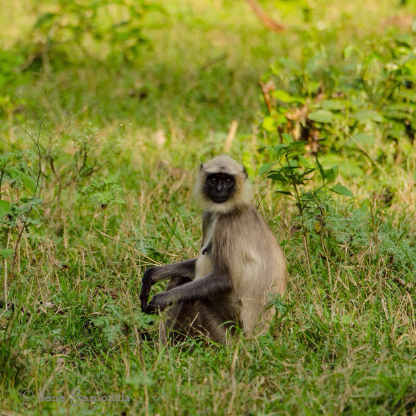 Monkey in Nagerhole, India