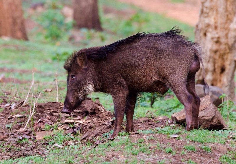 Wild Boar in Nagerhole, India