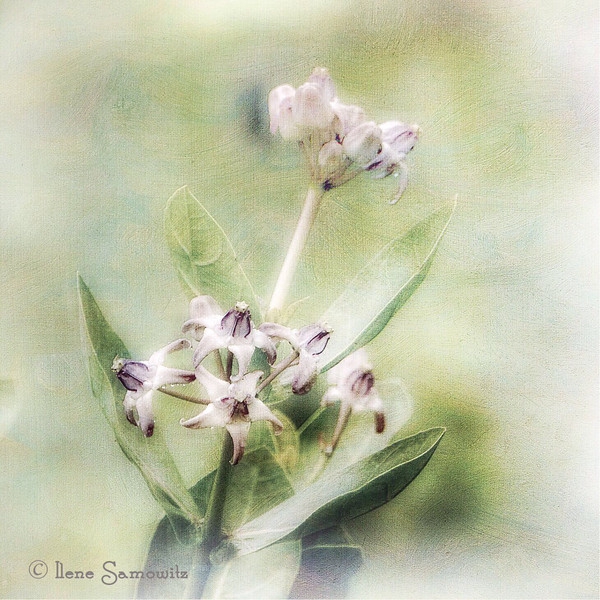 Nagarhole flower processed on Ipad with added texture.