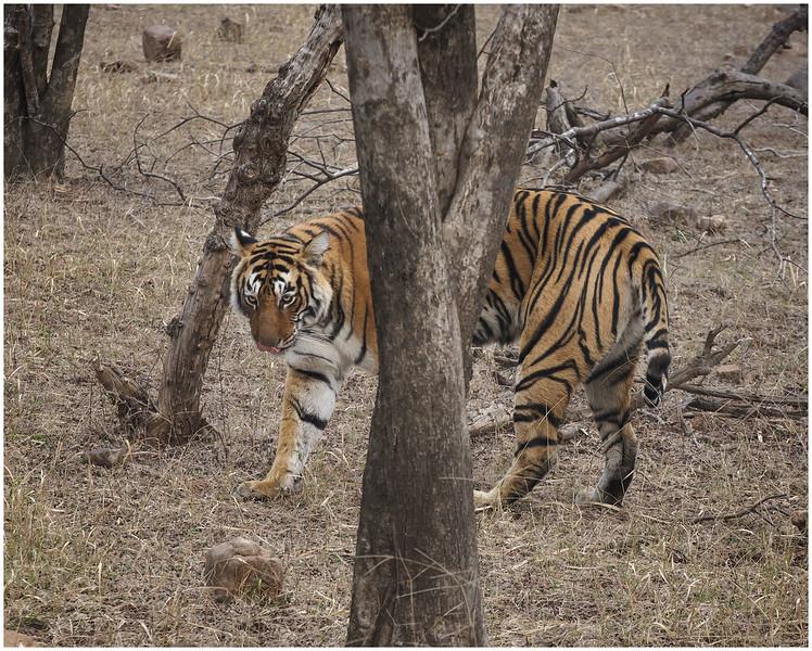 Tiger Walking Around A Tree