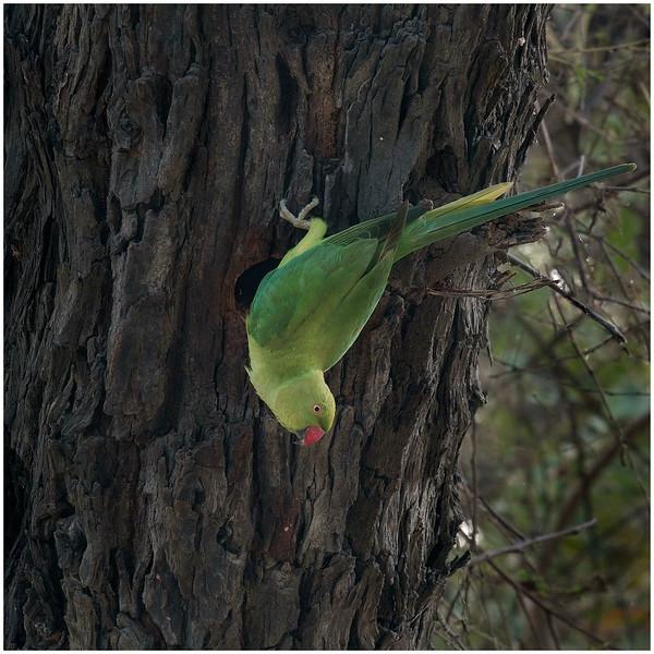 Comon Parakeet