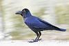 House Crow at Lodi Park, New Delhi