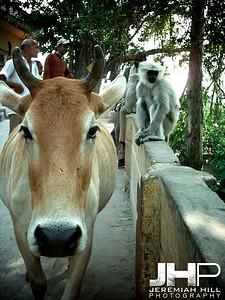 """When The Cow's Away"", Rishikesh, Uttaranchal, India, 2005 Print INDIA11-20"