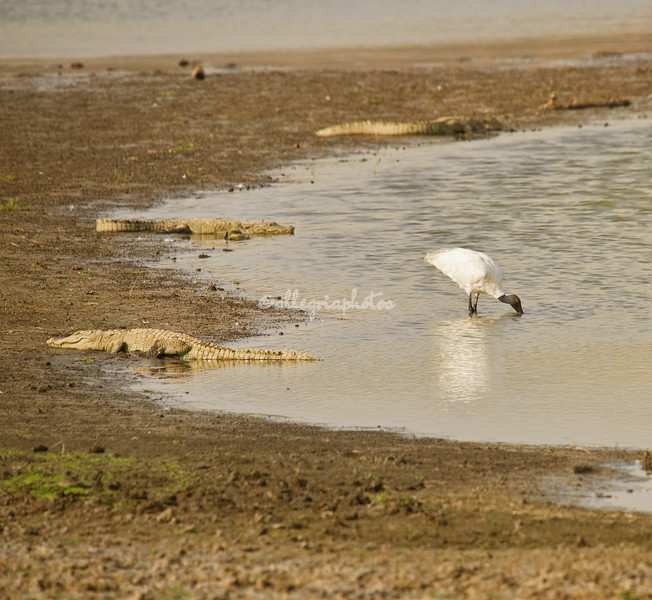 Black headed ibis and crocodiles
