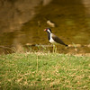 Red Wattled Lapwing, Ranthambore National Park, India
