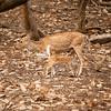 Chitel Spotted Deer