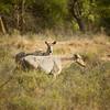 Nilgai Antelope