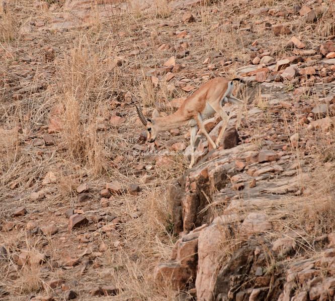Chinkara Indian Gazelle
