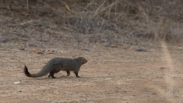 Mongoose!  Our guides thought that seeing a mongoose was lucky for our chances to spot a tiger.