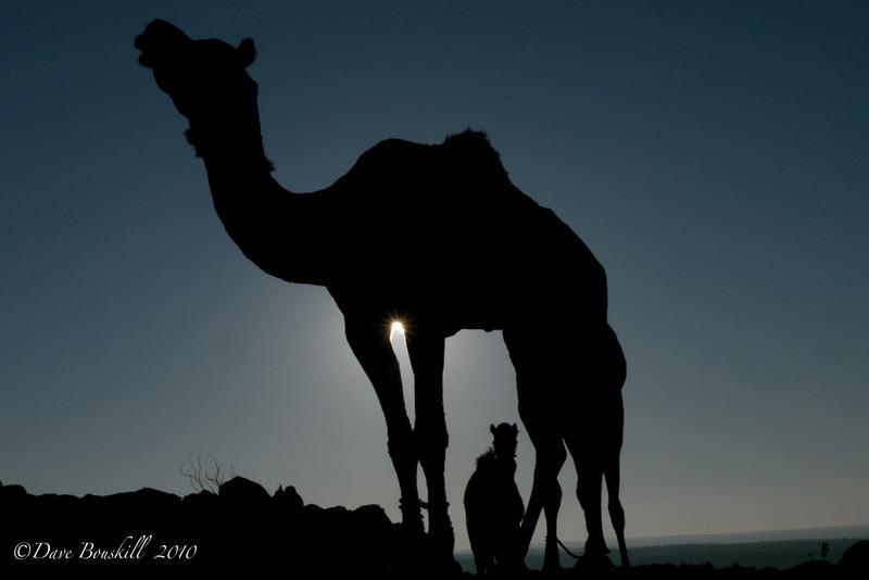 Favorite Camel on Safari in Rajasthan