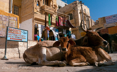 Jaisalmer Camel Safari  in Rajasthan, India