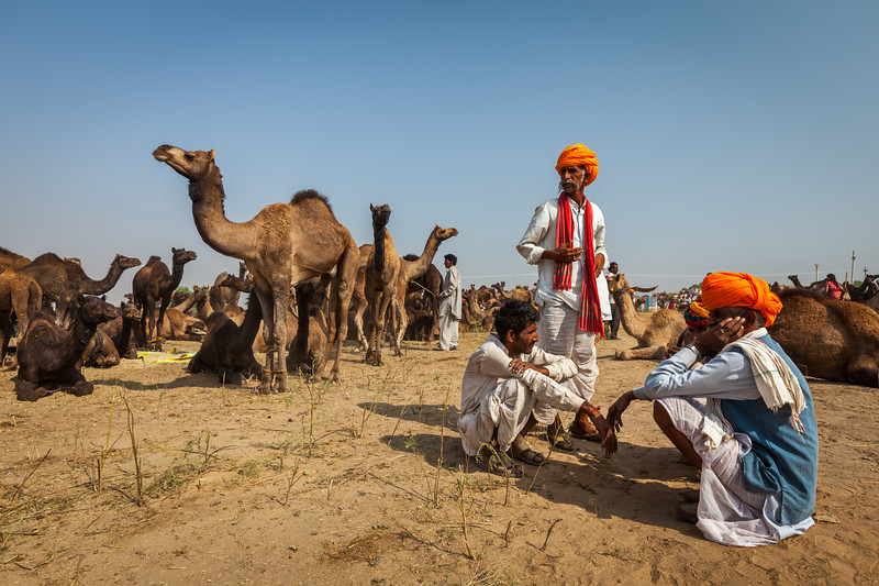 Men in Rajasthani dress and camels at Pushkar Mela (Camel Fair) in Pushar. Pushkar, Rajasthan, India