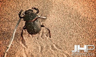 """""""Daytime Dung Beetle #1"""",  Thar Desert, Rajashtan, India, 2007 Print IND3926-080V2"""