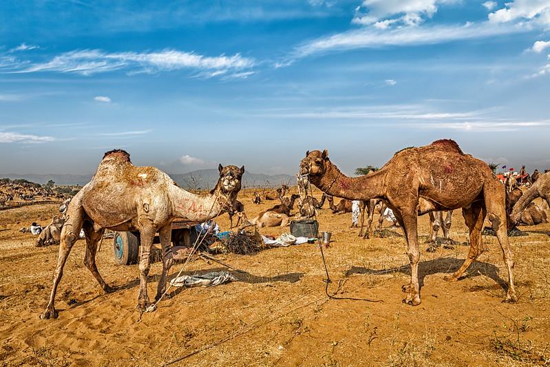 Camels at Pushkar Mela (Pushkar Camel Fair),  India