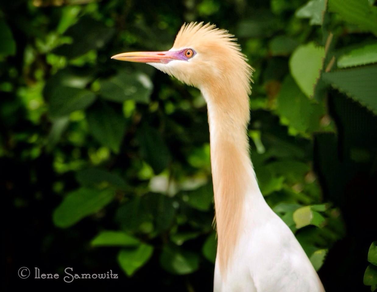 Portrait of Cattle Egret found in the Ranganthittu Bird Sanctuary outside of Mysore, India