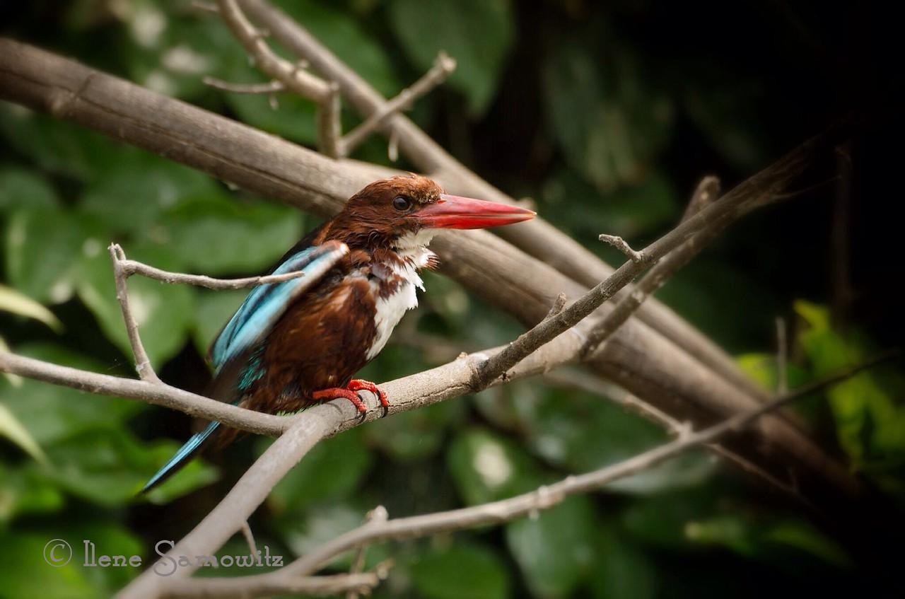 White-throated Kingfisher found in the Ranganthittu Bird Sanctuary outside of Mysore, India