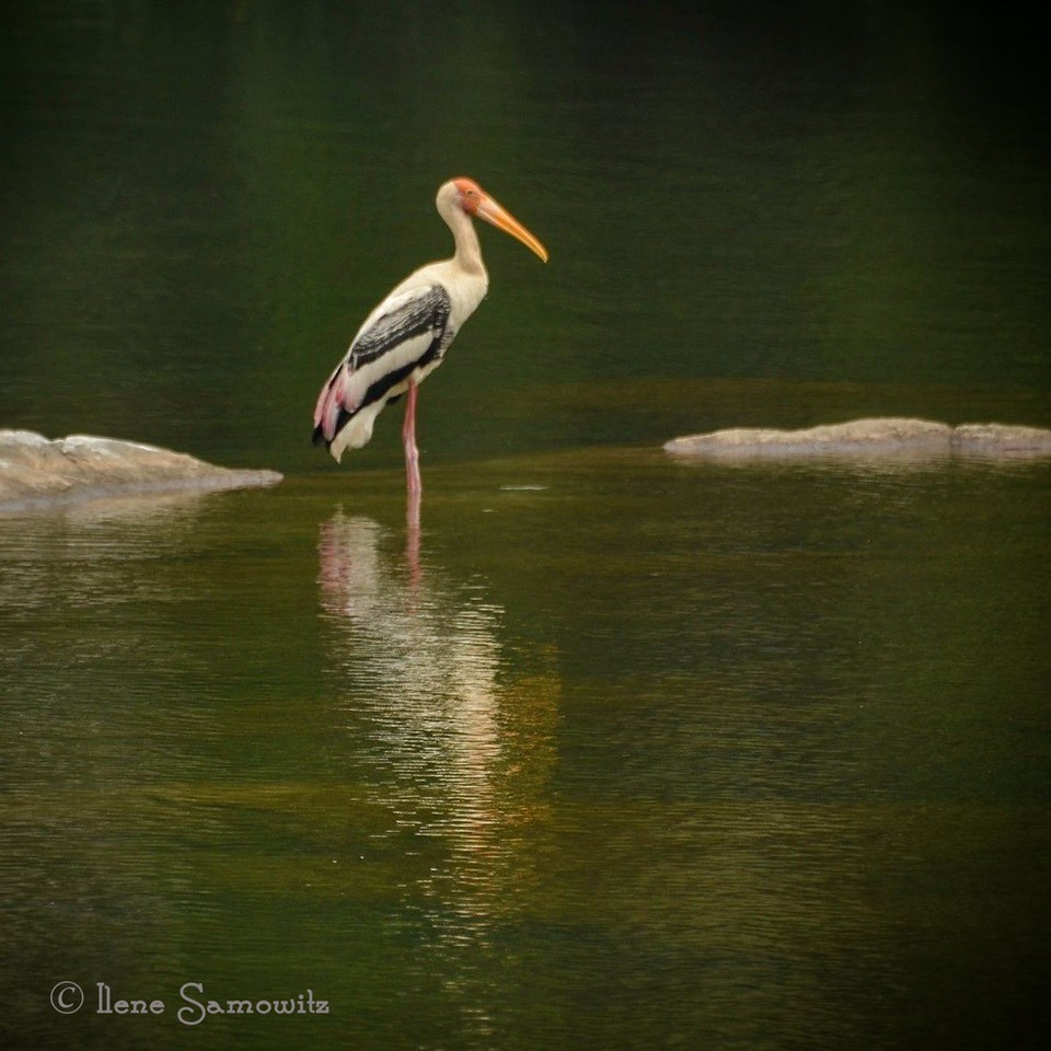 Painted Stork found in the Ranganthittu Bird Sanctuary outside of Mysore, India