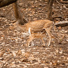 Chitel Spotted Deer
