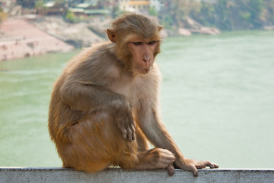 Just chillin out, watching the tourist crowds--Rishikesh, India