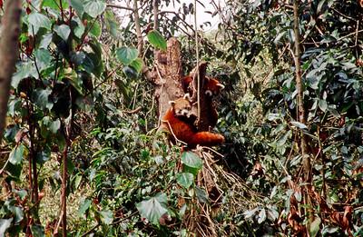 Red panda in Darjeeling zoo
