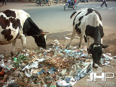 """Street Cows Feeding On Garbage"", Mysore, Karnataka, India,2005 Print INDIA6-28"