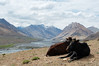 Cows resting on a hill with a view of the Spiti Valley below.