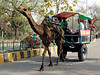 Camel cab, Taj Mahal, Agra, Sun 25 March 2012.  A different form of transport!
