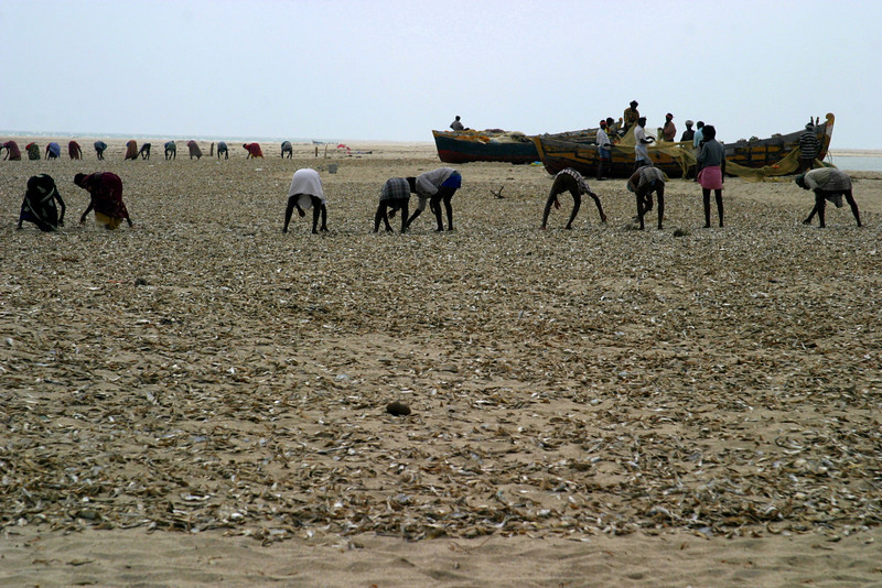 working through a beach covered in dried fish, Dhanushkodi fisherman