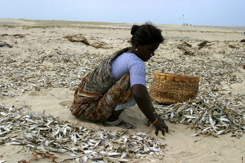 catch from the nets, Dhanushkodi fisherman