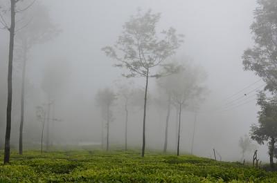 Tea Gardens at Coonoor, Ooty - Udhagamandalam