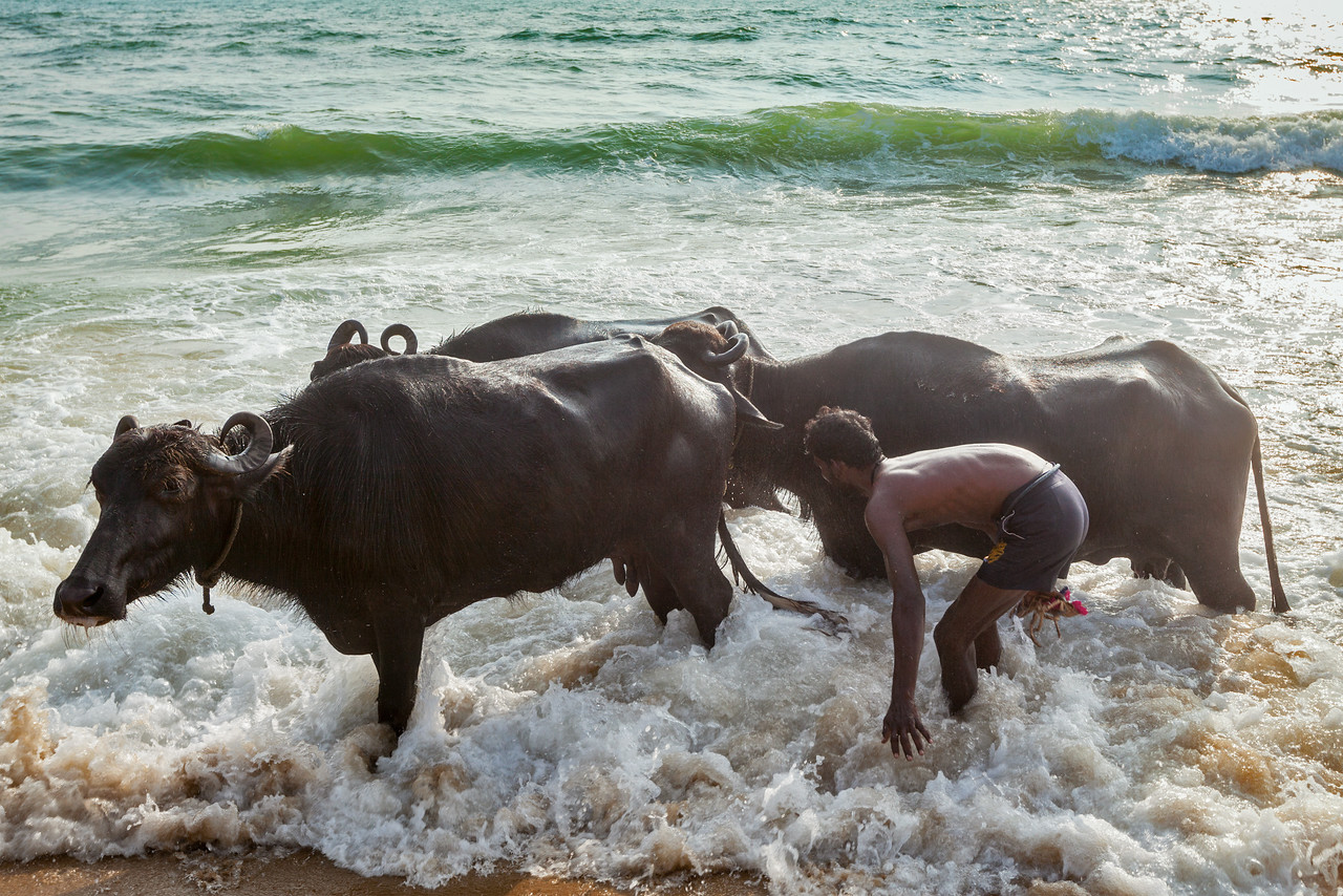 CHENNAI, INDIA - FEBRUARY 10, 2013: Man mashing cows in sea in the morning on Marina beach. Cow is a sacred animal in Hinduism