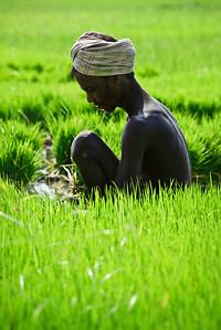 Farmer woking in rice field. Tamil Nadu,