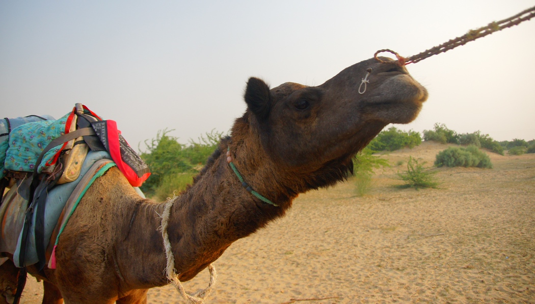 http://nomadicsamuel.com : This is a travel photo of a camel being pulled along by another camel during a safari in the Thar Desert, India just outside of Jaisalmer.