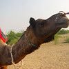 "<a href=""http://nomadicsamuel.com"">http://nomadicsamuel.com</a> : This is a travel photo of a camel being pulled along by another camel during a safari in the Thar Desert, India just outside of Jaisalmer."