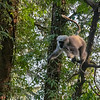 A Langur Monkey preparing to leap, Mussoorie, Uttarakhand, India