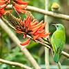 Leafbird, Dehradun