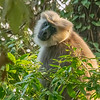 A Langur Monkey, Mussoorie, Uttarakhand, India