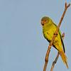 A Green Parakeet, Mussoorie, Uttarakhand, India