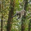 A leaping Langur Monkey, Mussoorie, Uttarakhand, India