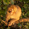 A Macaque monkey in the early morning sun, Mussoorie, Uttarakhand, India