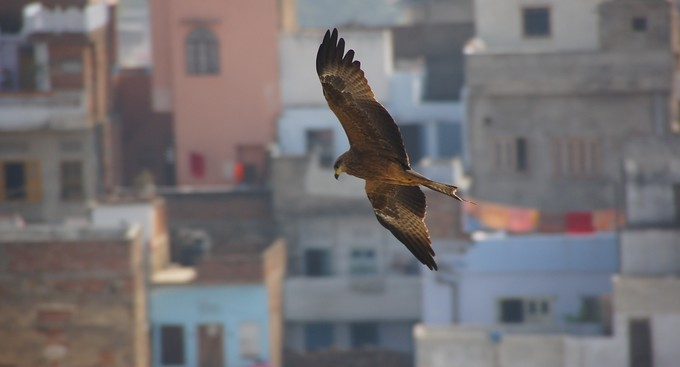 Photo of a bird soaring in Udaipur, Rajasthan, India