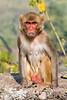 Rhesus Macaques ~ Monkey