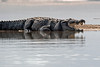 Indian Marsh crocodile in Chambal river ~ The National Chambal Sanctuary