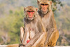 Rhesus Macaques both female and Male~ Monkeys