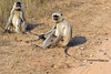 Langur Monkeys sitting along roadside