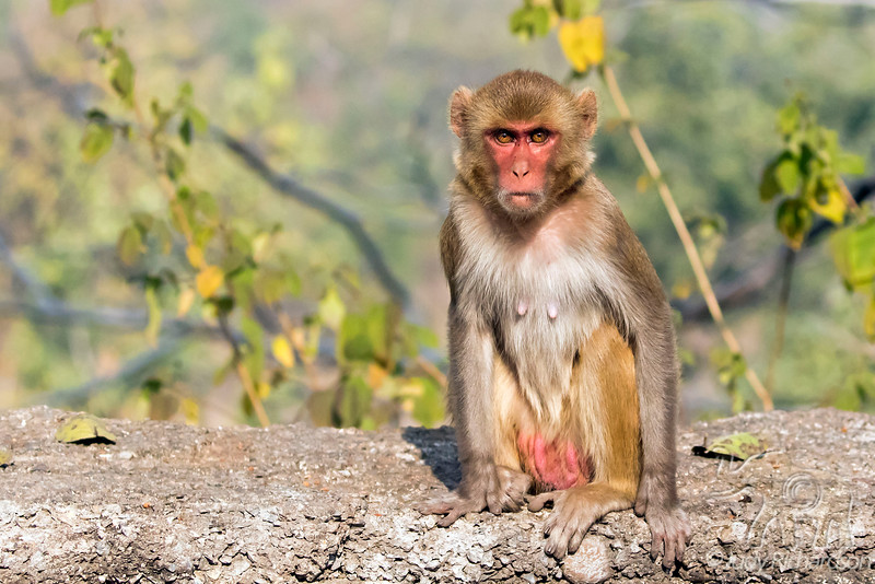 Rhesus Macaque ~ Monkey