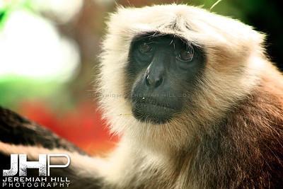 """""""Rishikesh Langur Monkey #2"""", Rishikesh, Uttuaranchal, India, 2007 Print IND373-385"""